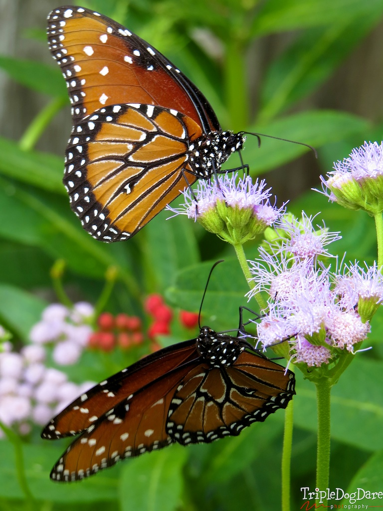 I have an abundance of beautiful Queen butterflies on my mist flower. SO pretty!